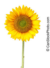 sunflower isolated on white with clipping path - a sunflower...