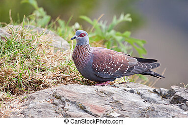 Speckled pigeon sitting on a rock ready to fly away in any...