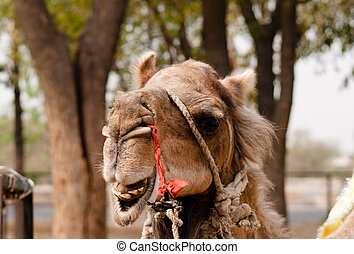 Indian domesticated camel showing teeth, Patwal, India