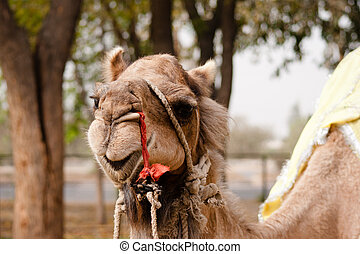 Indian domesticated camel close up, Patwal, India