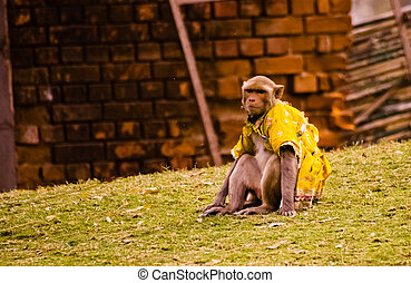 Domesticated macaque sitting - Macaque sitting, Patwal,...