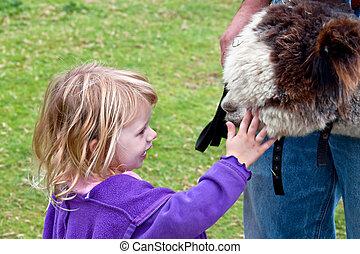 młody, dziewczyna, Pieszczochy, Huacaya, Alpaka
