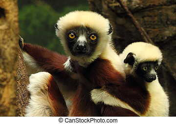 Big Eyes - Mother and baby Indri Lemur's