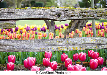 Tulips and rustic wooden horizontal fence beam, focus on...