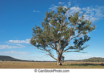 rural - a large eucalyptus tree in a farm paddock