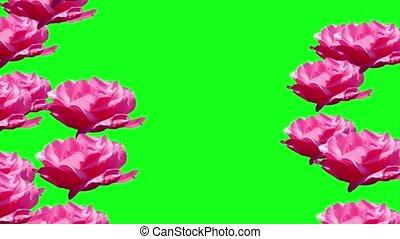 Pink rose chroma key - Pink rose