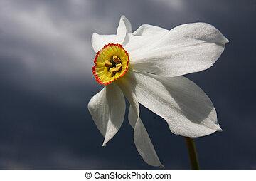 wild narcissus on dark background - Wild narcissus poeticus...