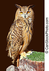 Bubo bubo eagle owl night bird on brown background