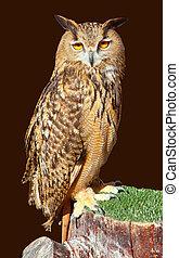 Bubo bubo eagle owl night bird on brown background