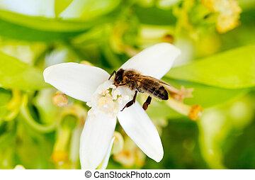 Bee pollinating orange blossom flower in spring
