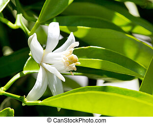 flower orange blossom in spring in pollinating time macro...