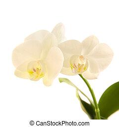 white phalaenopsis orchid stem  isolated on white