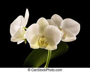 white backlit phalaenopsis orchid isolated on black;