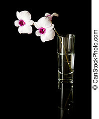 small branch of beautiful white; dendrobium orchid with dark purple centers in a glass, on black reflective surface