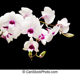 beautiful white dendrobium orchid with dark purple centers; isolated on black background