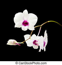 beautiful white dentrobium orchid with dark purple centers; isolated on black background;