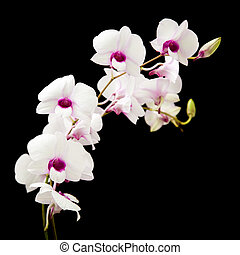 beautiful white orchid with dark purple centers; isolated on black background;