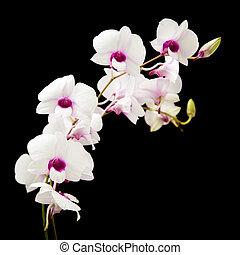 bonito, branca, orquídea, escuro, roxo, centros,...