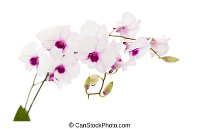 beautiful white  dentrobium orchid with dark purple centers, isolated on white background