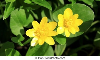 Spring blooms of yellow flowers