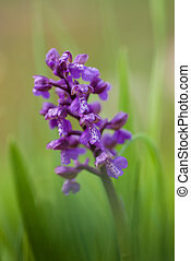 Green-winged Orchid - spring flower