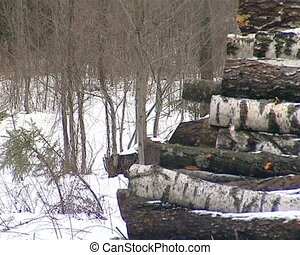 stack birch tree trunk - stacked birch tree trunks logs in...