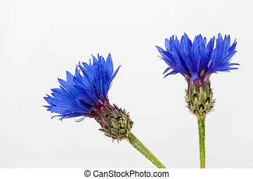 Cornflower - Blue cornflower on white background