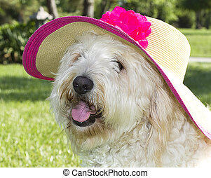 Golden Doodle in SunHat - Shaggy golden doodle wearing large...