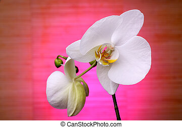white orchid on a pink background