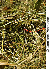 Neddle in the haystack - Needle with red thread in the...