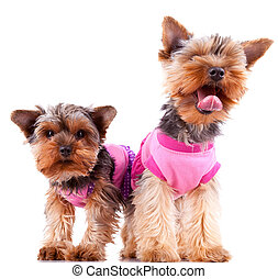 two little yorkshire puppy dogs playing, dressed in pink...