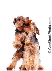 two yorkshire terrier puppy dogs playing