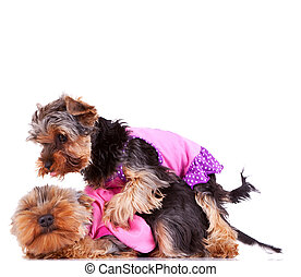 two little yorkshire puppy dogs playing, dresses in pink...