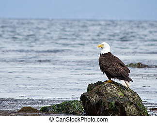 Bald Eagle perched on rock - Majestic Bald Eagle sitting on...