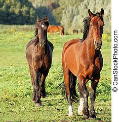 2 paarden, 2 horses - 2 paarden lopen op de wei two horses...