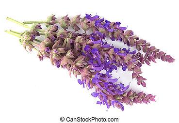 Lavandula Lavender herb flowers
