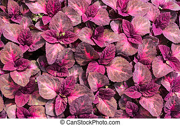 Red leaves of coleus plant