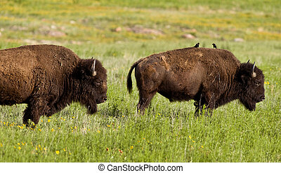Buffalo with birds taking a ride. - Buffalo on the range...