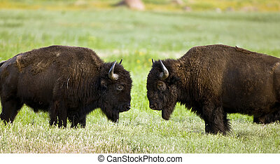 Buffalo face to face. - Buffalo on the range outside Lawton,...