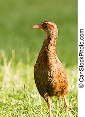 Endemic NZ bird Weka, Gallirallus australis - Flightless...