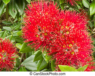 Closeup blossoms of NZ Christmas Tree Pohutukawa - Close-up...