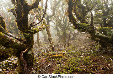 Virgin mountain rainforest of Marlborough, NZ - Mists in...