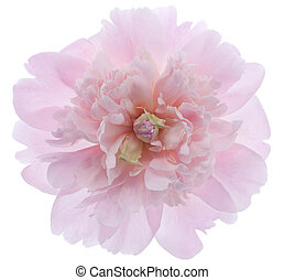 peony - Studio Shot of Pink Colored Peony Isolated on White...