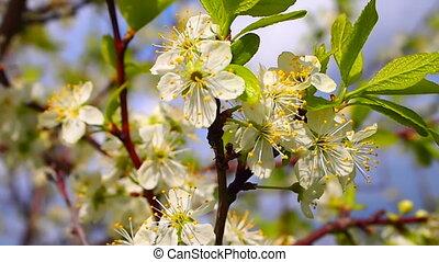 flowering plum - spring,  flowering plum