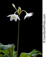 Amazon lily (Eucharis amazonica, Family Amaryllidaceae)...