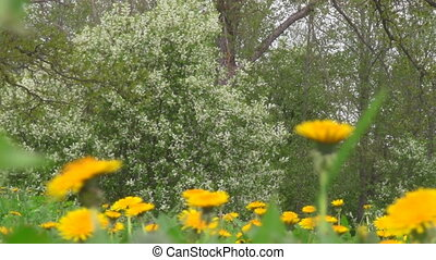 spring forest - meadow with dandelions, flowering bird...