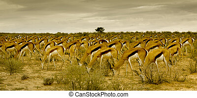 Springbuck Mass - National Antelope of South Africa - The...