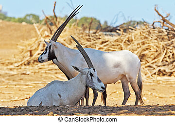 A herd of white wild goats Arabian Oryx on a sunny summer...