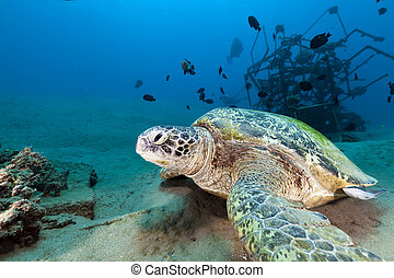 Green turtle (chelonia mydas) in the Red Sea. - Green turtle...