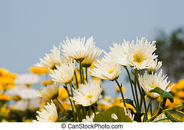 white chrysanthemums flowers  - white chrysanthemums flowers